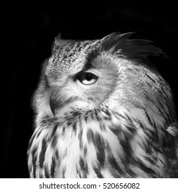 Eurasian eagle owl, Bobo bobo, very beautiful wild animal in sunset sunshine. Long-eared bird is the very skilled raptor. Nocturnal bird with expressive amber eyes. Black and white image.