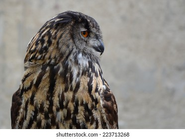Eurasian Eagle Owl (Bubo bubo). Detail of the head from the side.