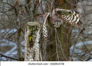 Eurasian Eagle Owl (Bubo bubo) in flight, United Kingdom