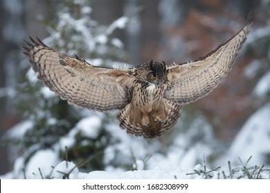 Eurasian Eagle Owl (Bubo bubo), flying bird with open wings above snowy meadow, forest in the background, animal in the nature habitat.