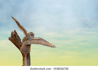 Eurasian eagle owl, Bubo bubo, a large species of eagle owl. Sit on a stump. Spread the wings for takeoff. Bird looks back, the red eyes stare at you. Beautiful blue and green sky in the background