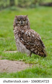 Eurasian Eagle Owl (Bubo bubo) on grassy floor, United Kingdom