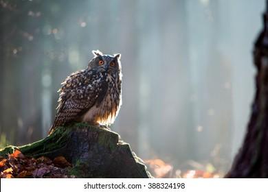 Eurasian Eagle Owl (Bubo Bubo) sitting on the stump, wildlife photo.