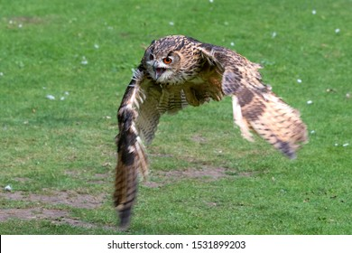 Eurasian Eagle Owl Flying Close to the Ground