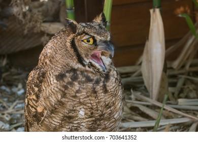 Eurasian Eagle Owl with mouth open