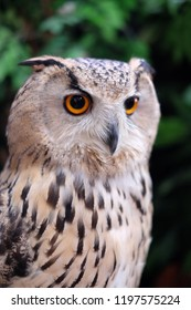 Eurasian eagle owl is one of the largest living species of owl.