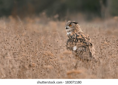 Eurasian Eagle Owl perched in a field