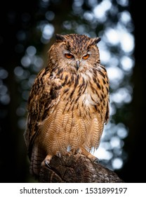 Eurasian Eagle Owl Perched on an Old Log