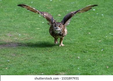 Eurasian Eagle Owl Running Along the Ground