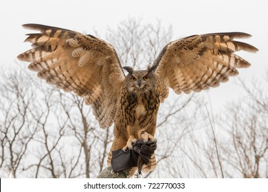 Eurasian Eagle Owl with its wings spread perched on falconer's hand in a glove