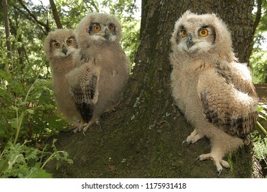 Eurasian Eagle owls