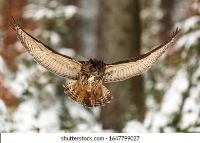 Eurasian eagle-owl (Bubo bubo) about to sit in the snowy forest