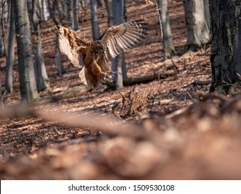 Eurasian eagle-owl (Bubo Bubo) in autumn forest. Eurasian eagle owl landing. Owl flying in forest. Eurasian eagle owl in flight.