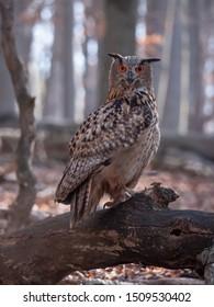 Eurasian eagle-owl (Bubo Bubo) in autumn forest. Eurasian eagle owl sitting on tree. Owl in forest.