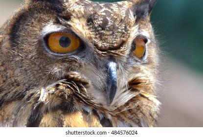 Eurasian Eagle-Owl (Bubo bubo), a bird native to Asia and Europe.