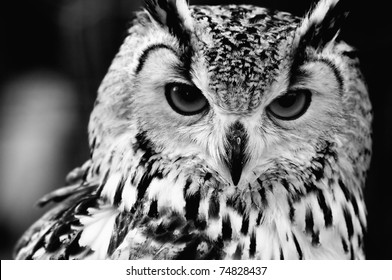 Eurasian Eagle-owl (Bubo bubo). Black and white close up portrait