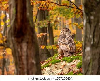 Eurasian eagle-owl (Bubo Bubo) in colorful autumn forest. Eurasian eagle owl sitting on tree. Owl in colorful autumn forest.