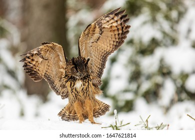 Eurasian eagle-owl (Bubo bubo) landed in the forest in the snow