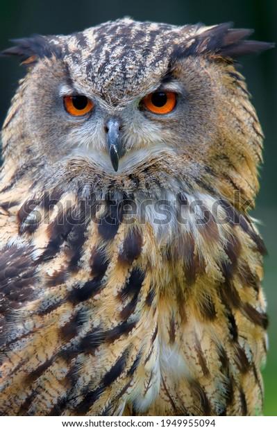 Eurasian eagle-owl (Bubo bubo) portrait