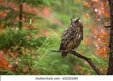 ユーラシアの鷲フクロウ(ブボブボ)は、ユーラシアの多くに生息する鷲の種である。ヨーロッパではワシフクロウ、ヨーロッパではワシフクロウとも呼ばれ、最も大きい種の一つである。
