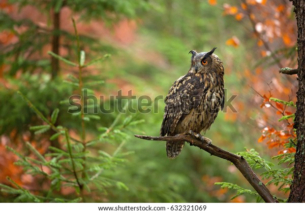 Eurasian eagle-owl (Bubo bubo) is a species of eagle-owl that resides in much of Eurasia. It is also called the European eagle-owl and in Europe.It is one of the largest species of owls.