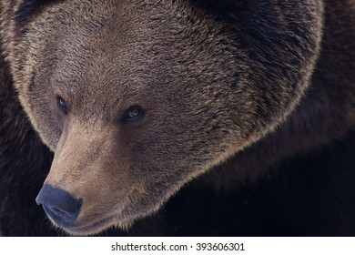 Eurasian or european brown bear