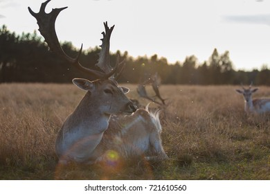 Eurasian fallow deer with branched palmate antlers. Poland, Europe.