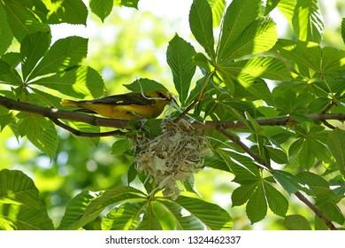 Eurasian golden oriole building nest