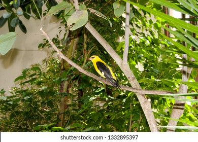 Eurasian golden oriole on a tree branch