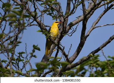 The Eurasian golden oriole (Oriolus oriolus) or simply golden oriole, is the only member of the oriole family of passerine birds breeding in Northern Hemisphere temperate regions.