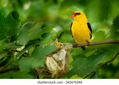 Eurasian Golden Oriole sitting near the nest and singing.