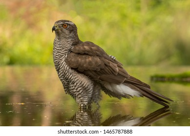 Eurasian goshawk in the forest