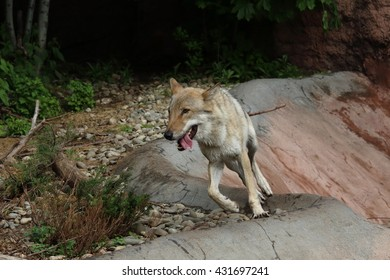 Eurasian gray wolf running in enclosure in Moscow Zoo