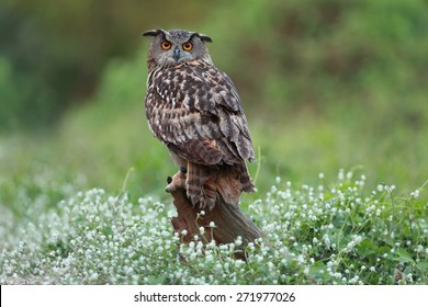 Eurasian great horned owl or Eagle owl (Bubo bubo).