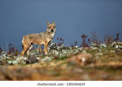 Eurasian grey wolf (Canis lupus lupus), old alpha female in the Bulgarian mountains. Wildlife scene from nature.