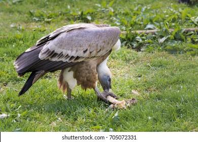 Eurasian griffin vulture eating a bone