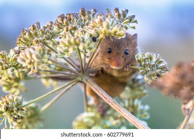 Eurasian Harvest mouse (Micromys minutus) feeding on seeds of cow parsley (Anthriscus sylvestris) and looking in the camera