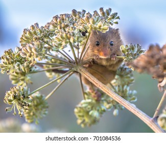 Eurasian Harvest mouse (Micromys minutus) foraging on seeds of cow parsley (Anthriscus sylvestris) and looking in the camera