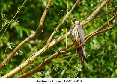 Eurasian Hobby / Falco subbuteo