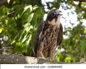 The Eurasian hobby (Falco subbuteo), or just simply hobby, is a small slim falcon.