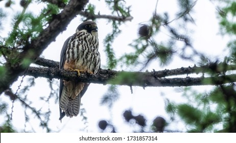 Eurasian hobby, falco subbuteo, sitting on top of larch tree. Cute majestic falcon bird of prey in wildlife. The Eurasian hobby , Falco subbuteo, or just simply hobby, is a small, slim falcon