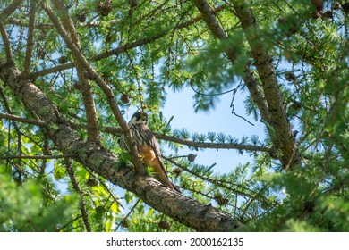 Eurasian hobby, falco subbuteo, sitting on top of larch tree. Cute majestic falcon bird of prey in wildlife. The Eurasian hobby , Falco subbuteo, or just simply hobby, is a small, slim falcon