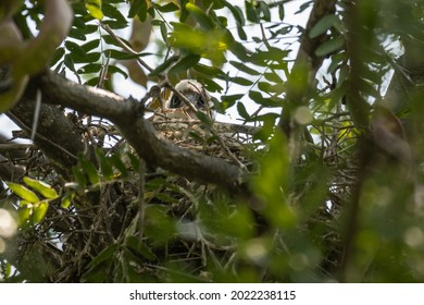 Eurasian hobby Falco subbuteo, is a small bird of prey from the family of falcons. A small chick in the nest.