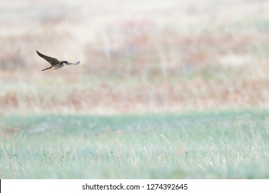 Eurasian Hobby (Falco subbuteo ssp. subbuteo), Russia (Baikal), adult flying over open meadow in forest.