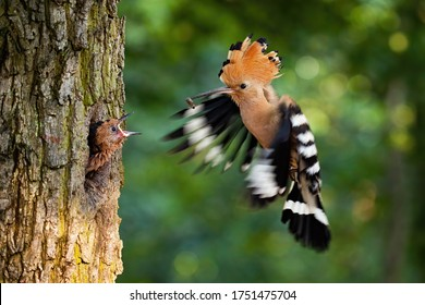 Eurasian hoopoe breeding in nest inside tree and feeding young chick. Parent bird passing food to young offspring midair. Wild animal with wings and crest landing down.