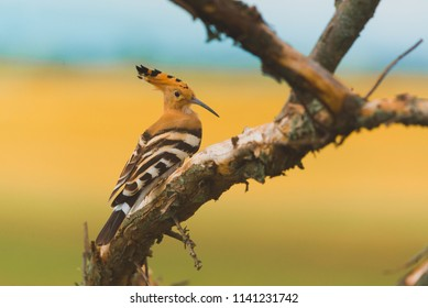 Eurasian Hoopoe, Common Hoopoe or Upupa epops, the beautiful brown bird on a tree branch