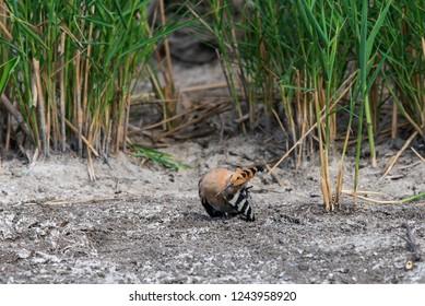 Eurasian Hoopoe or Common hoopoe or Upupa epops