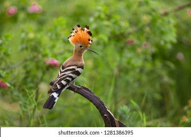Eurasian Hoopoe or Common hoopoe (Upupa epops)