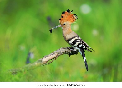 Eurasian Hoopoe or Common hoopoe (Upupa epops) sitting on a tree with food in the beak