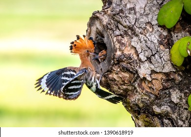 Eurasian Hoopoe or Common hoopoe (Upupa epops) at hole in tree